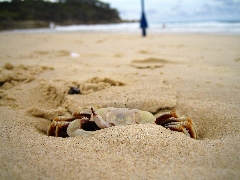 Daytrips Brisbane_North Stradbroke Island Krabbe