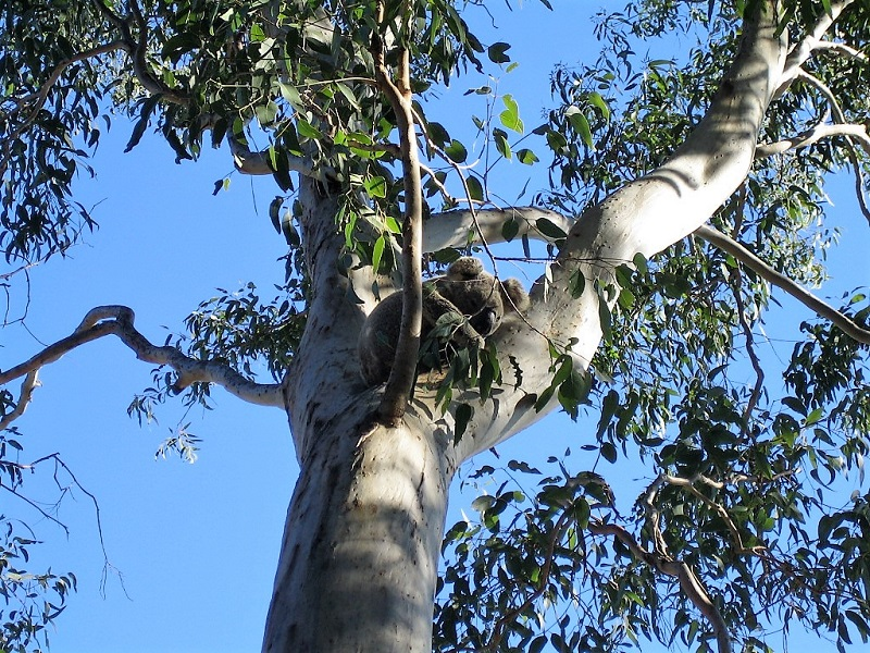 Daytrips Brisbane_Koala Noosa Nationalpark